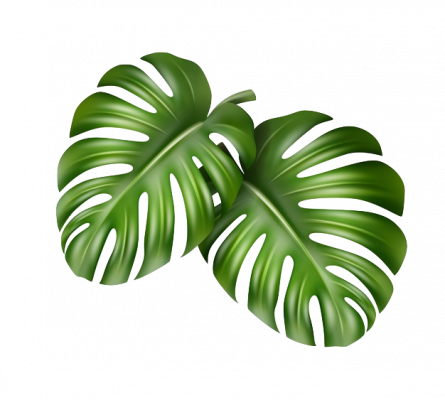 vector-big-green-leaves-tropical-monstera-plant-isolated-white-background_1284-48407